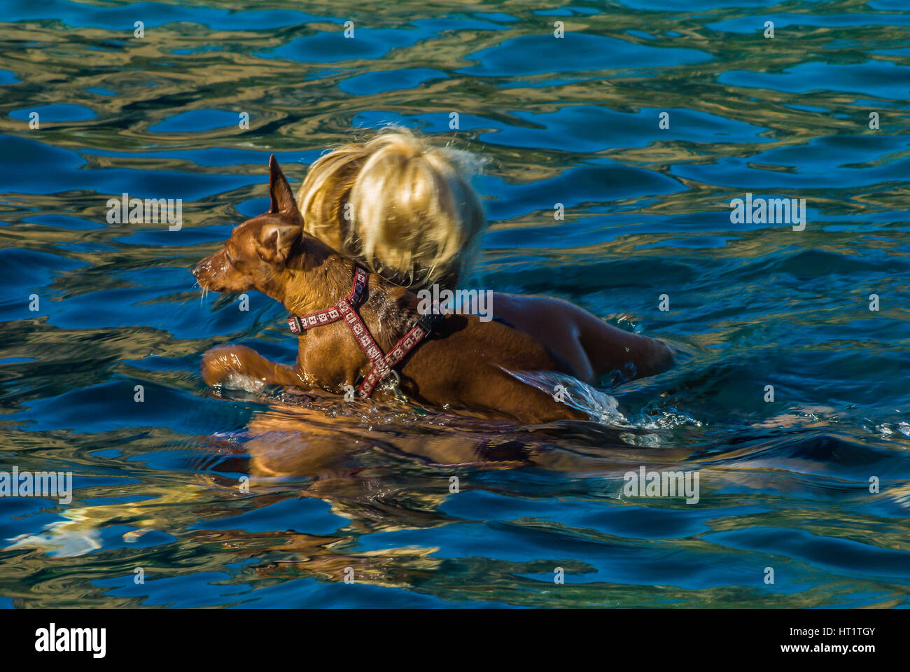 woman swims with her dog on her shoulder - Stock Image