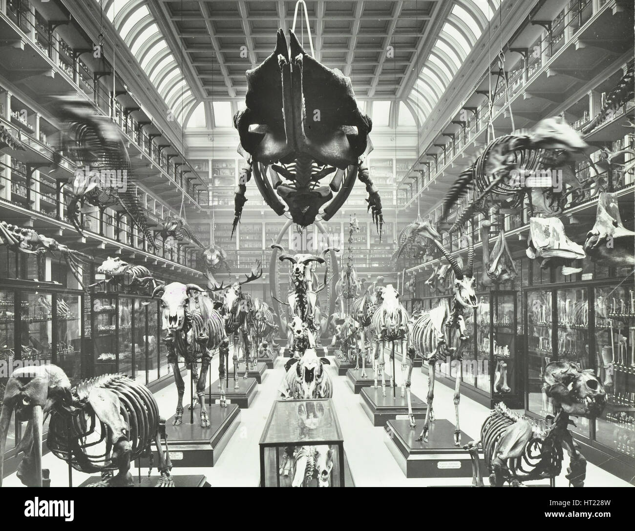 Animal skeletons at the Royal College of Surgeons, Westminster, London, 1911. Artist: Unknown. - Stock Image