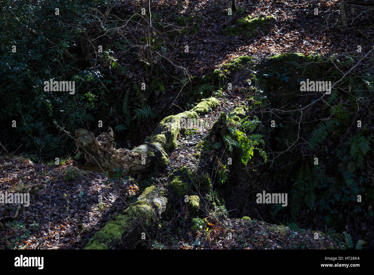 Path formed by fallen tree in woods for woodland animals such as Deer Badgers foxes,copse, coppice, dense growth, - Stock Image