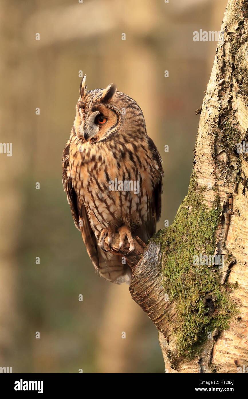 Long eared owl perched on a tree branch in a woods in the early morning sunshine, beautiful detail. - Stock Image