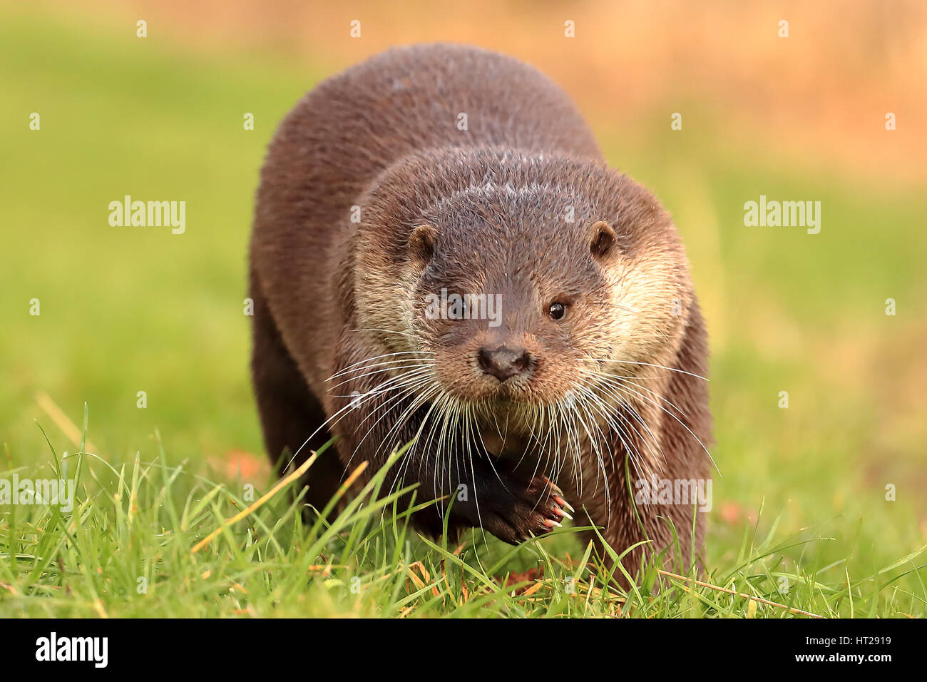 Otter running head on, full frontal beautiful picture - Stock Image