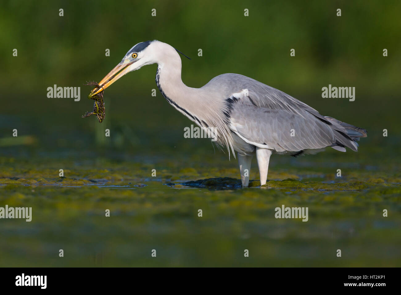 Grey Heron (Ardea cinerea), adult with a caught frog - Stock Image