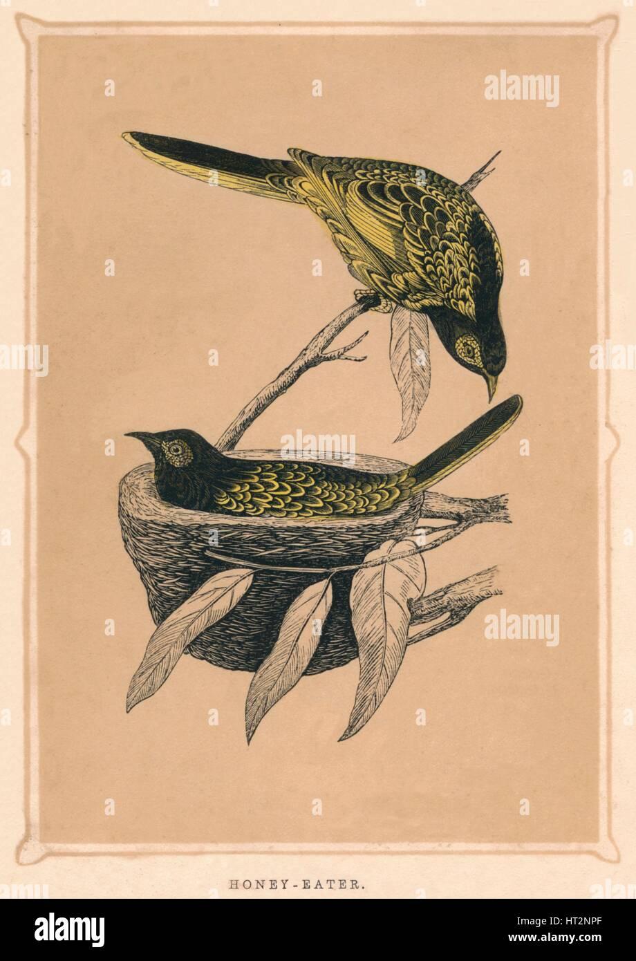 'Honey-Eater', (Meliphagidae), c1850, (1856). Artist: Unknown. - Stock Image