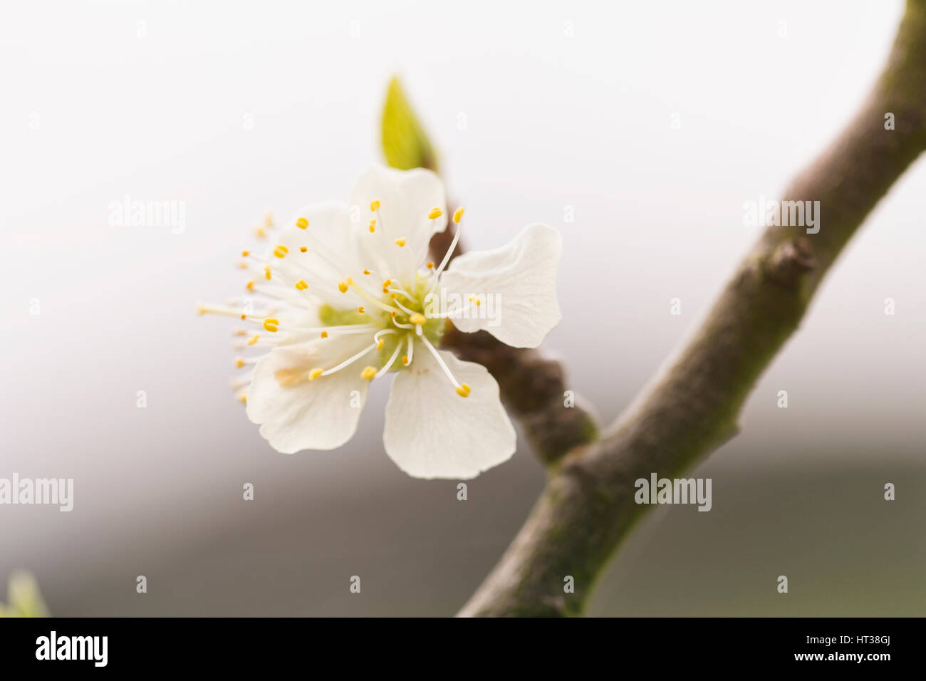 Plum tree flower - Stock Image