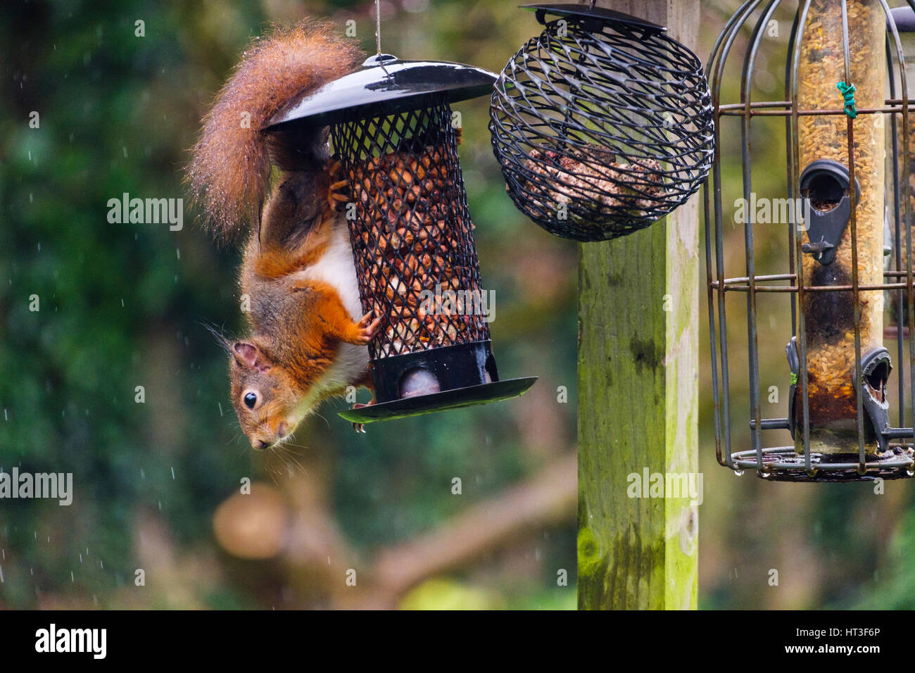 A Red Squirrel (Sciurus vulgaris) eating peanuts by a squirrel-proof seed feeder hanging from a bird table in a - Stock Image