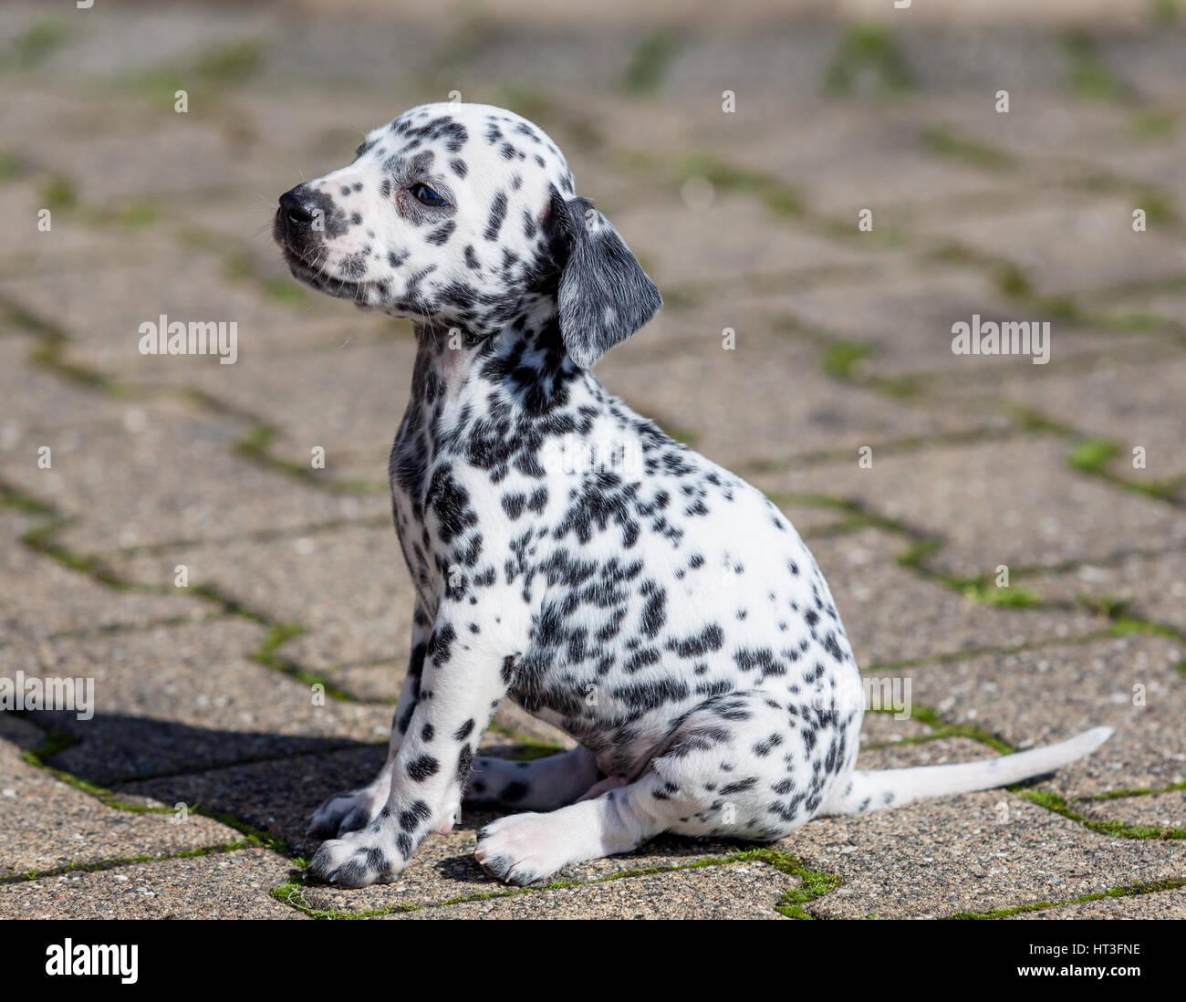 Dalmatian dog. Dalmatian puppy. - Stock Image