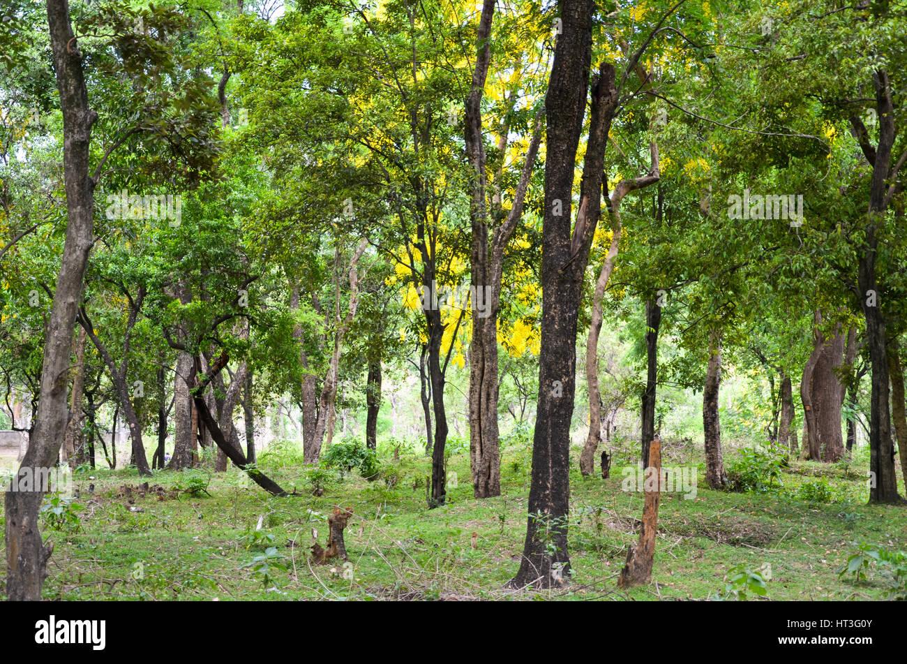 Sandalwood forest at Marayoor, near Munnar, Kerala, India Stock