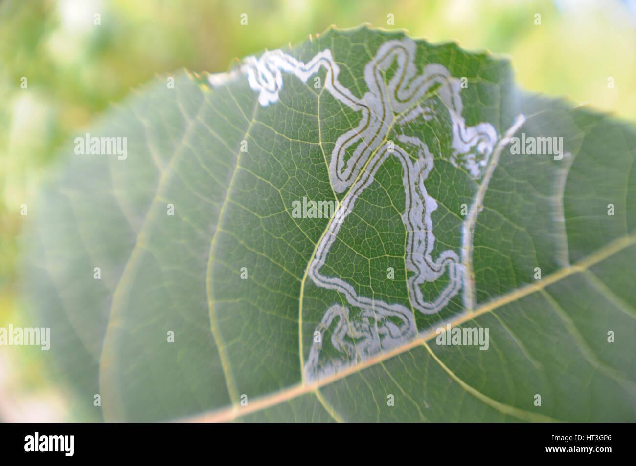 Leaf Miner Leaves Line Art in Leave - Stock Image