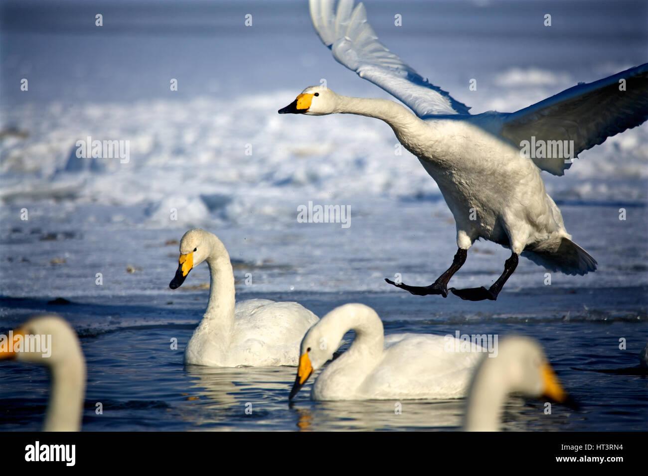 Whooper swans (Cygnus cygnus) in Lake Kussharo, Hokkaido, Japan - Stock Image
