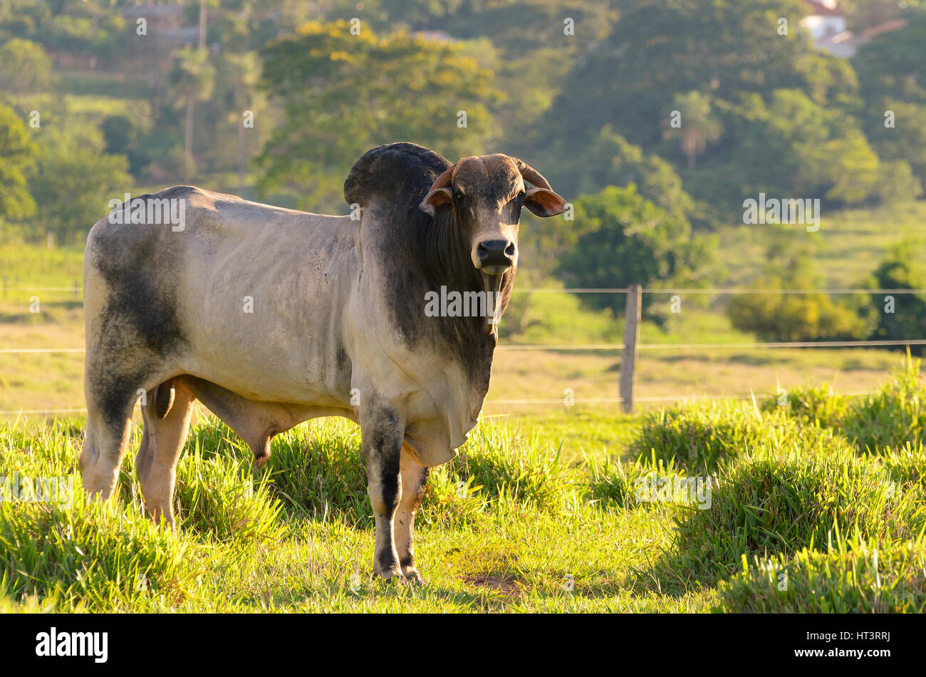 Breeding bull in farm pasture. Fence and field in the background. - Stock Image