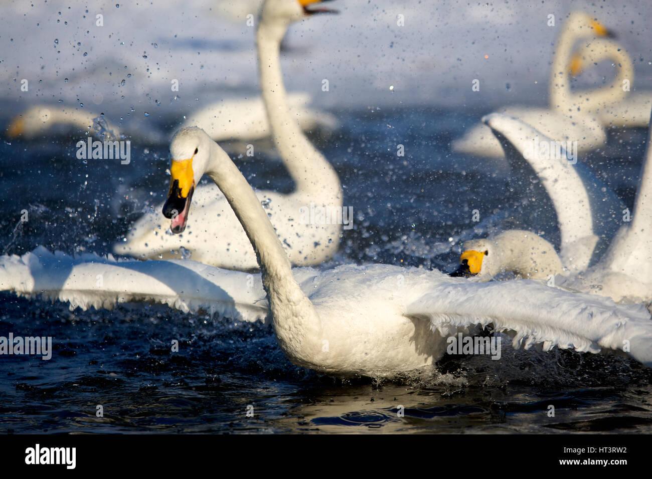 Whooper swans (Cygnus cygnus) in Lake Kussharo, Hokkaido, Japan Stock Photo