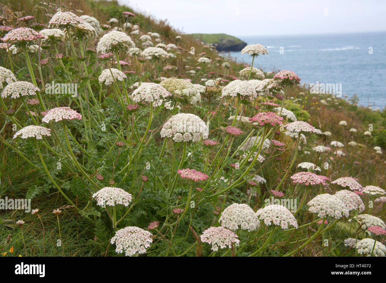 Sea Carrot, Daucus gingidium, Mullion and Predannack Cliffs, The LIzard National Nature Reserve, Cornwall, UK Stock Photo