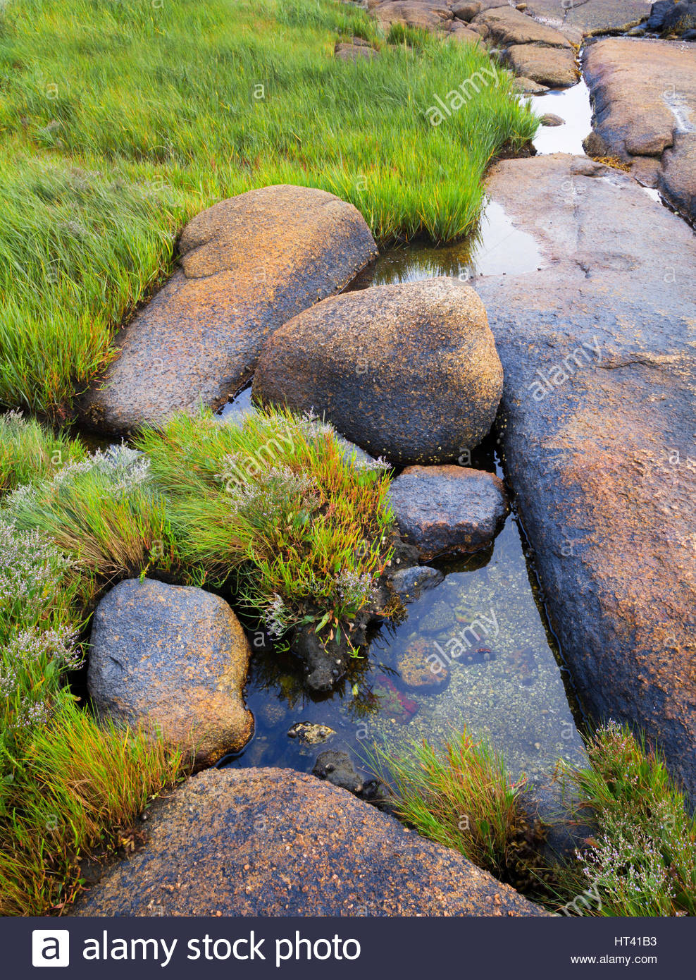 0902-1012 Tide pools with saltmeadow cord grass [Spartina patens] with blooming sea lavender [Limonium carolinianum], - Stock Image