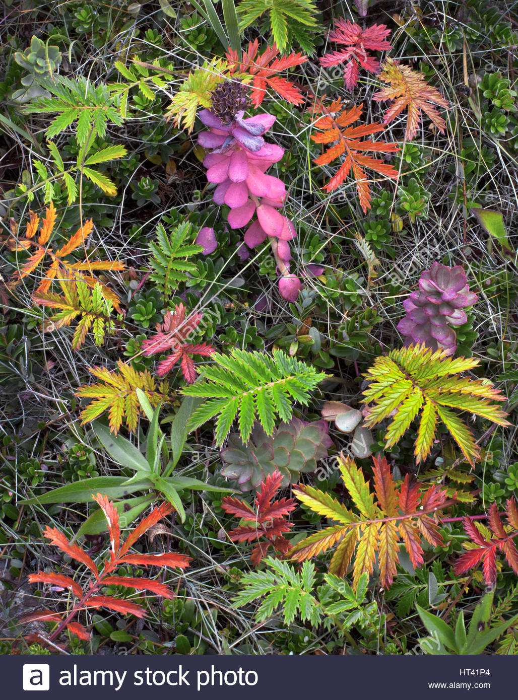 0902-1016 -  Stonecrop [Sedum sp.] and silverweed cinquefoil  [Argentina anserina] and other low lying plants.  - Stock Image