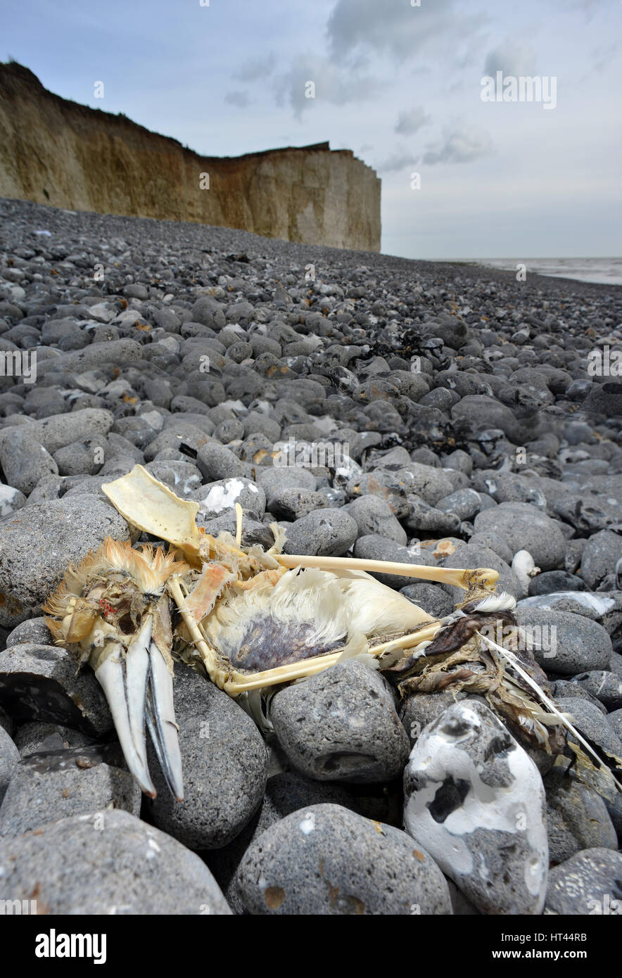 Dead gannet, sea bird, washed up on a pebble beach in Sussex, UK - Stock Image