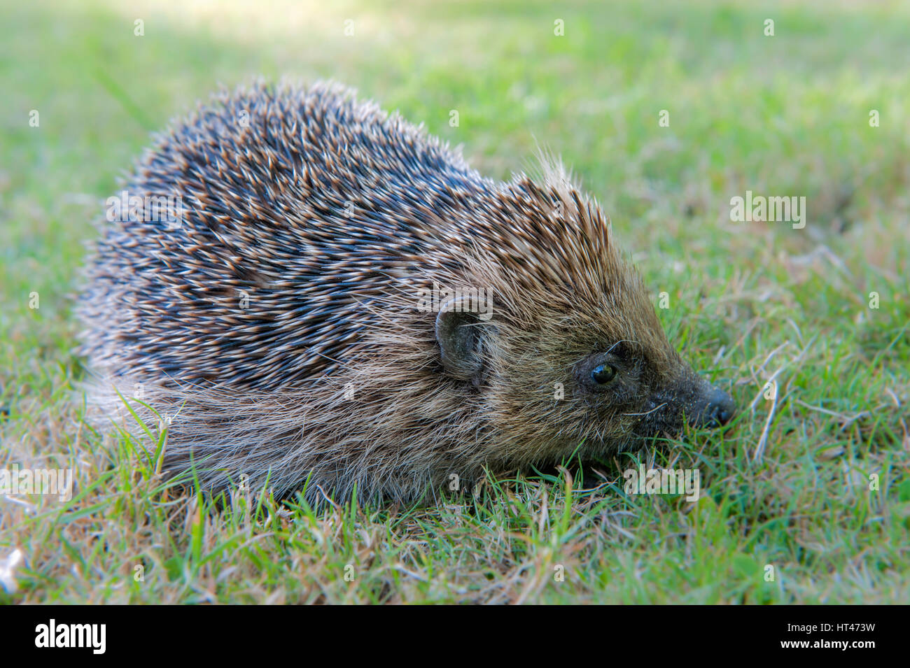 Hedgehog Western(Erinaceus eropaeus) foraging for earthworms on a garden lawn in Kettlestone, Norfolk. - Stock Image