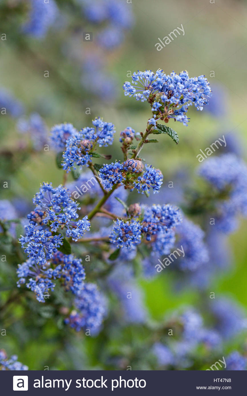 Ceanothus Puget Blue Agm Evergreen Shrub With Blue Flowers In