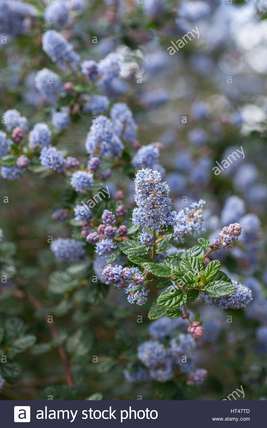 Ceanothus blue stock photos ceanothus blue stock images alamy ceanothus eleanor taylor an evergreen small tree pale blue flowers in spring izmirmasajfo