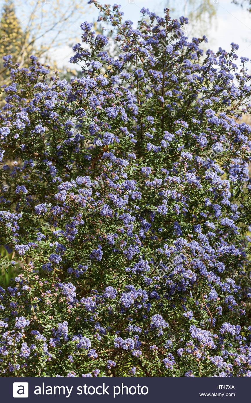 Ceanothus X Veitchianus Evergreen Shrub With Blue Flowers In