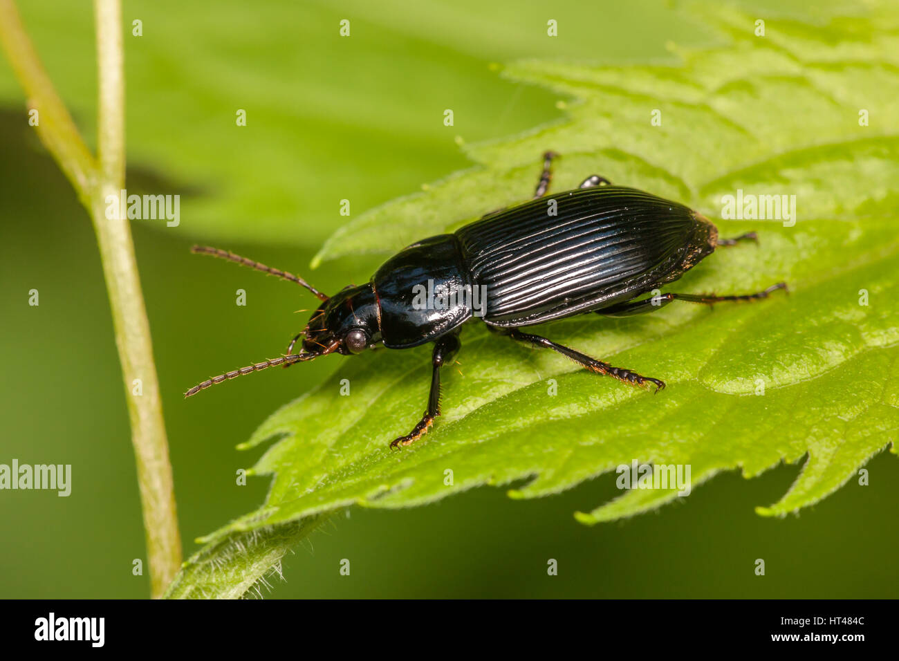 A Woodland Ground Beetle (Pterostichus sp.) perches on a leaf. - Stock Image