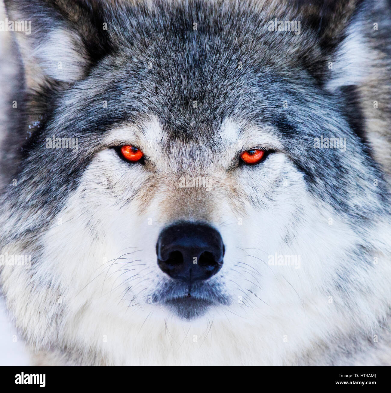 Red Eyes Wolf Portrait Stock Photo 135320546 Alamy