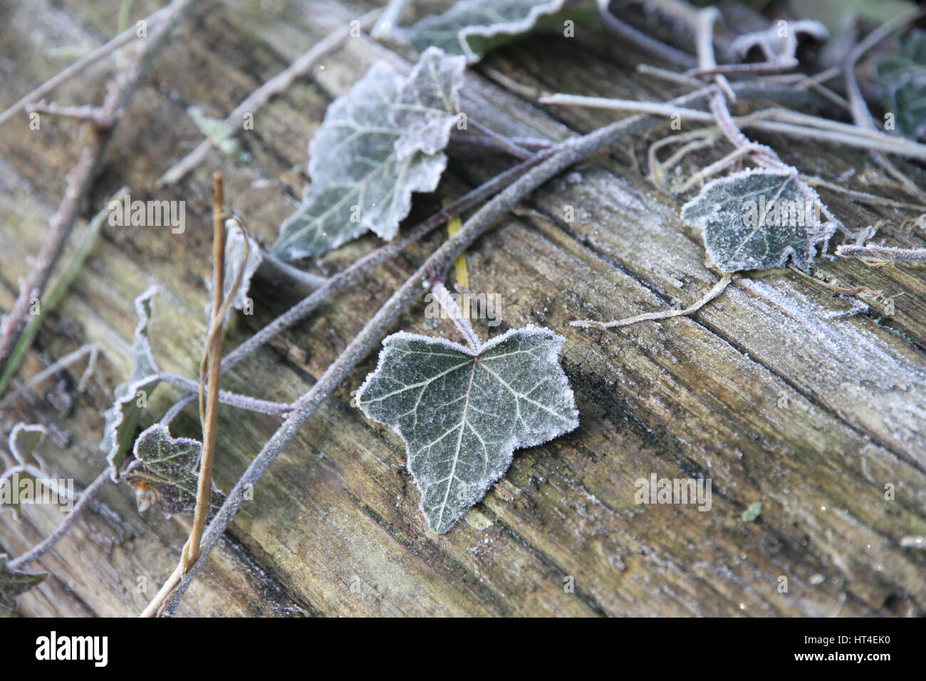 Winter frosty creeping ivy - Stock Image