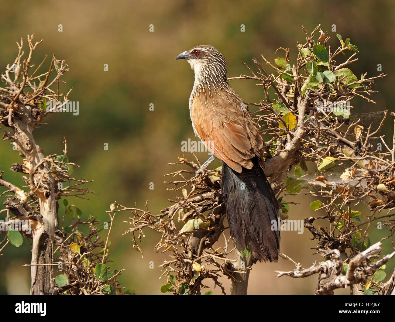 White-browed Coucal (Centropus superciliosus) in the Mara Conservancies, Greater Mara, Kenya Africa - Stock Image