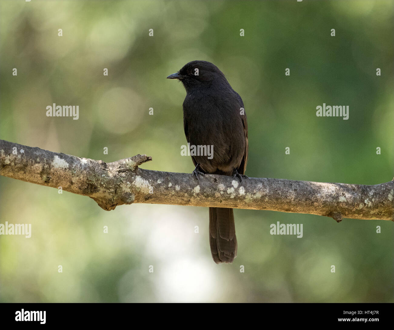 Northern Black Flycatcher (Melaenornis edelioides) perched on branch with lichen in the Mara Conservancies, Greater - Stock Image