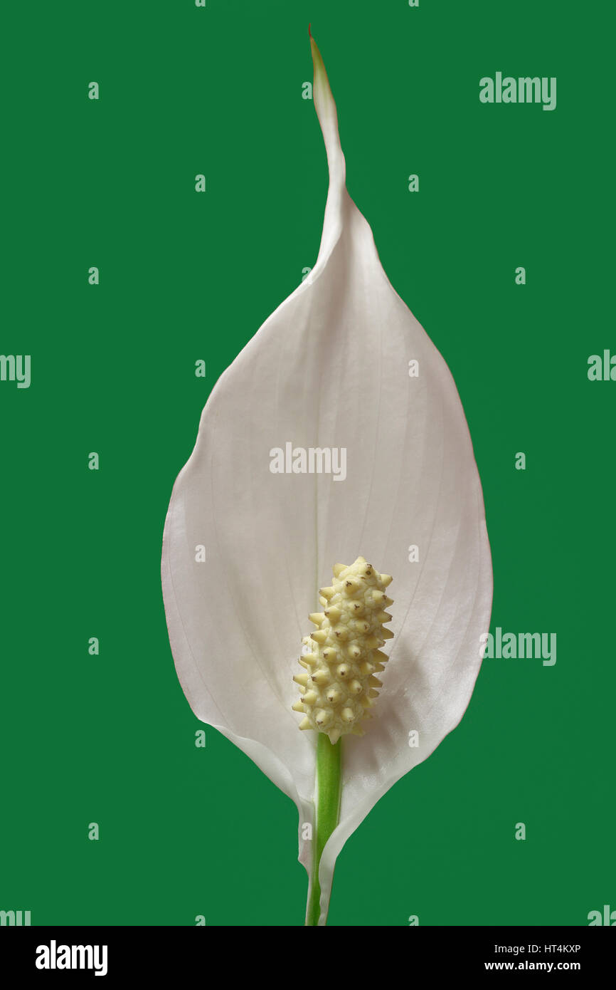 Flower of peace lily plant on green background stock photo flower of peace lily plant on green background izmirmasajfo
