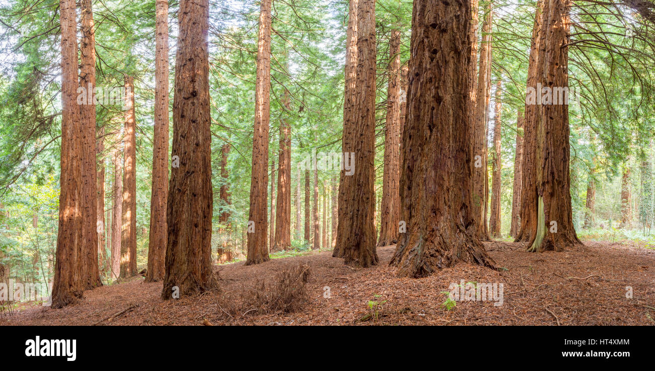 Coast Redwood (Sequoia sempervirens) large (40m+) trees planted in 1857 at the Redwood Grove, Leighton, Powys, Wales. - Stock Image