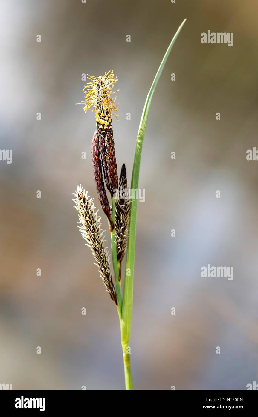 Inflorescence of lesser pond-sedge (Carex acutiformis), Canton of Geneva, Switzerland - Stock Image