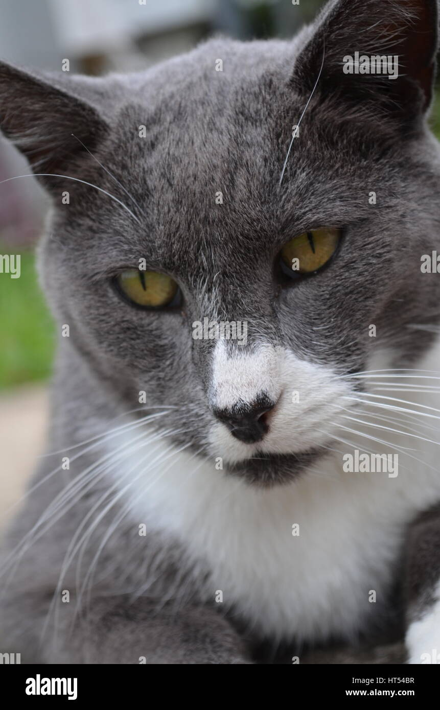 Close up of grey and white cats pensive face - Stock Image