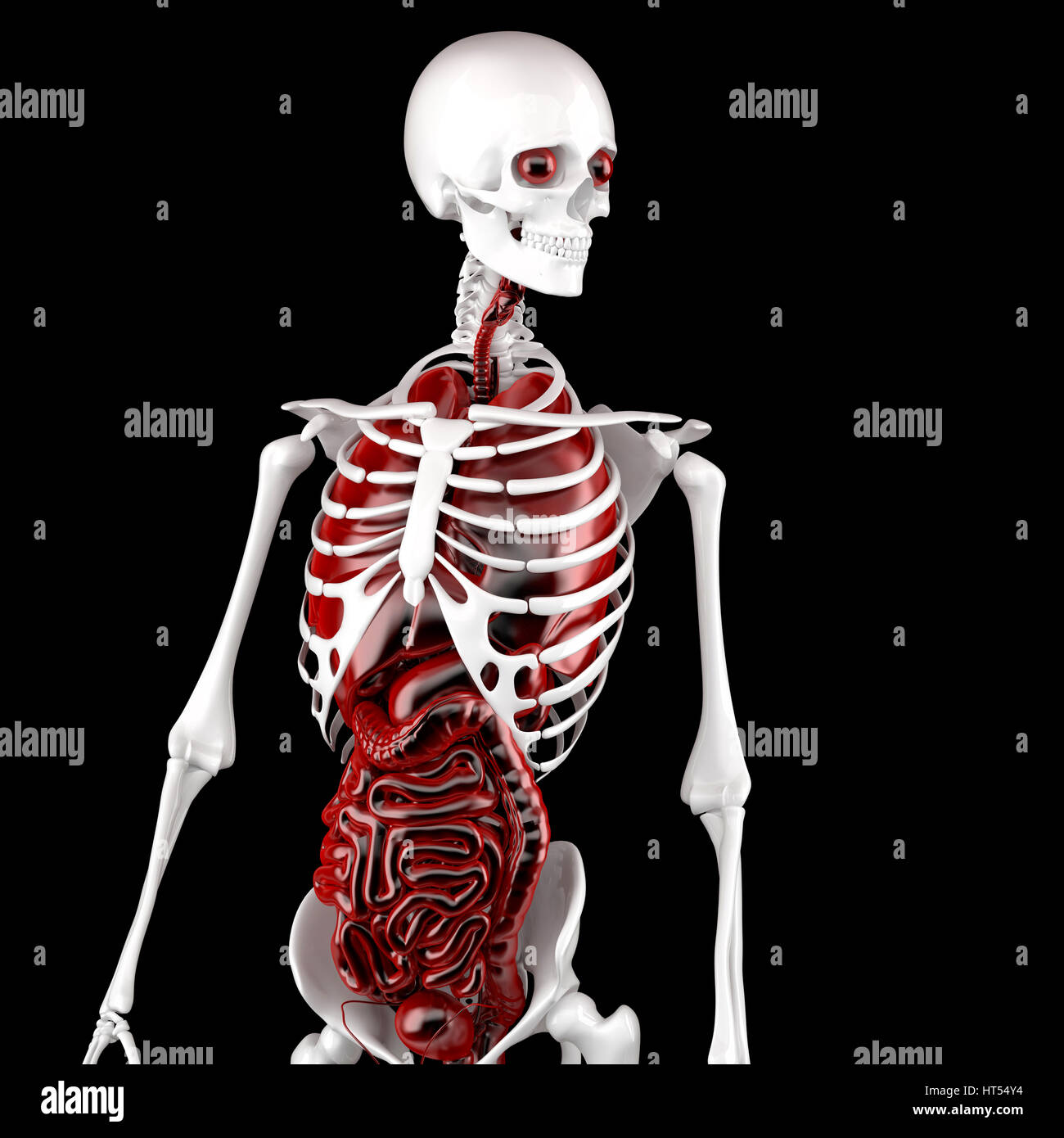 Human Male Anatomy. Skeleton and Internal Organs. 3D illustration ...