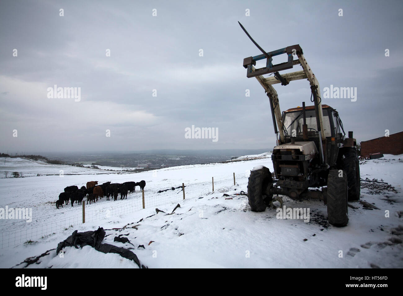 04/04/2012. Oldham / UK. Cattle huddle together for warmth in the hills around Shaw near Oldham   . - Stock Image