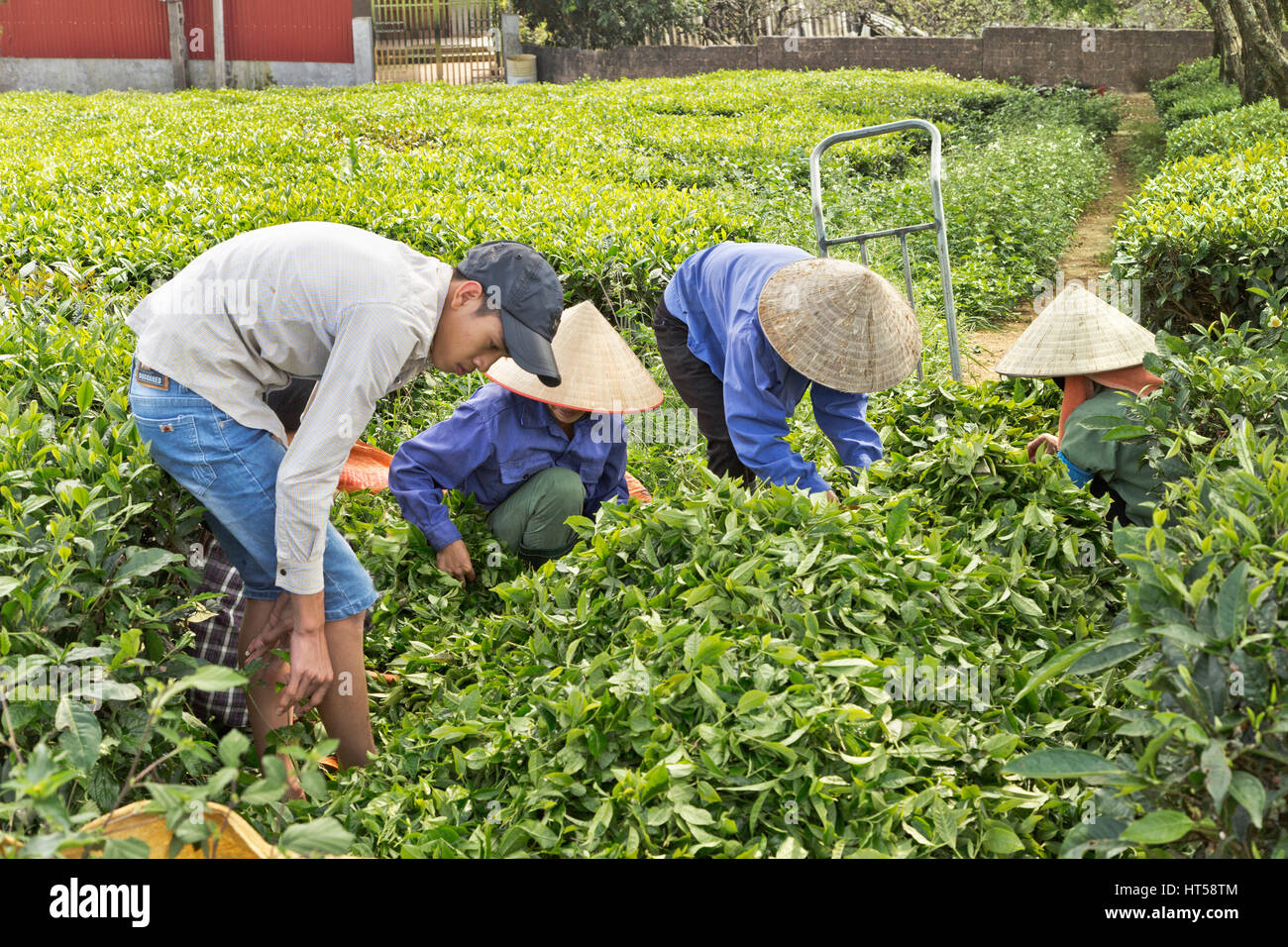Field workers sorting harvested green tea,  Moc Chau, Son La  Province. - Stock Image