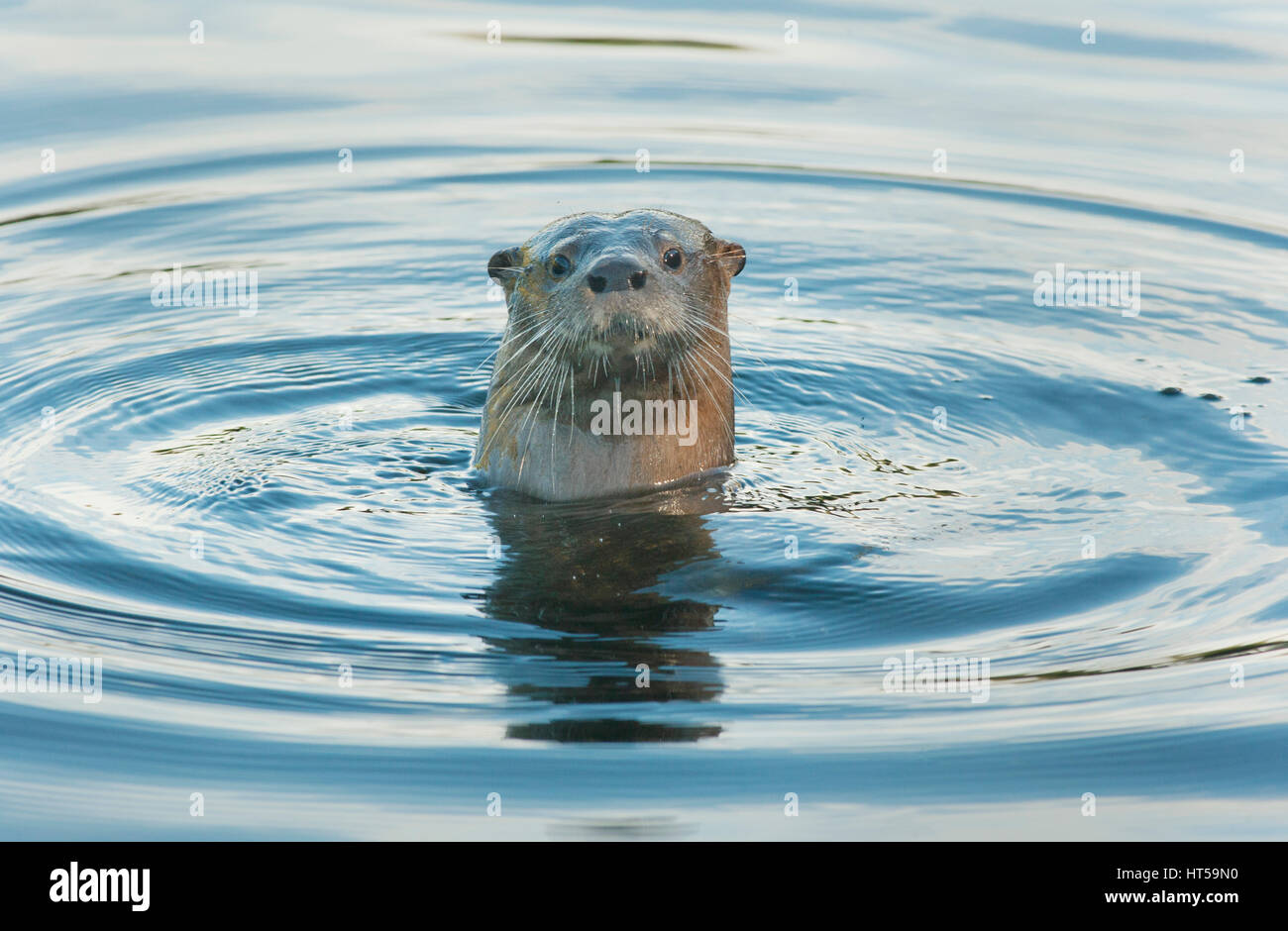 Southern River Otter (Lontra provocax) Critically Endangered, Chiloe Island, Chile - Stock Image
