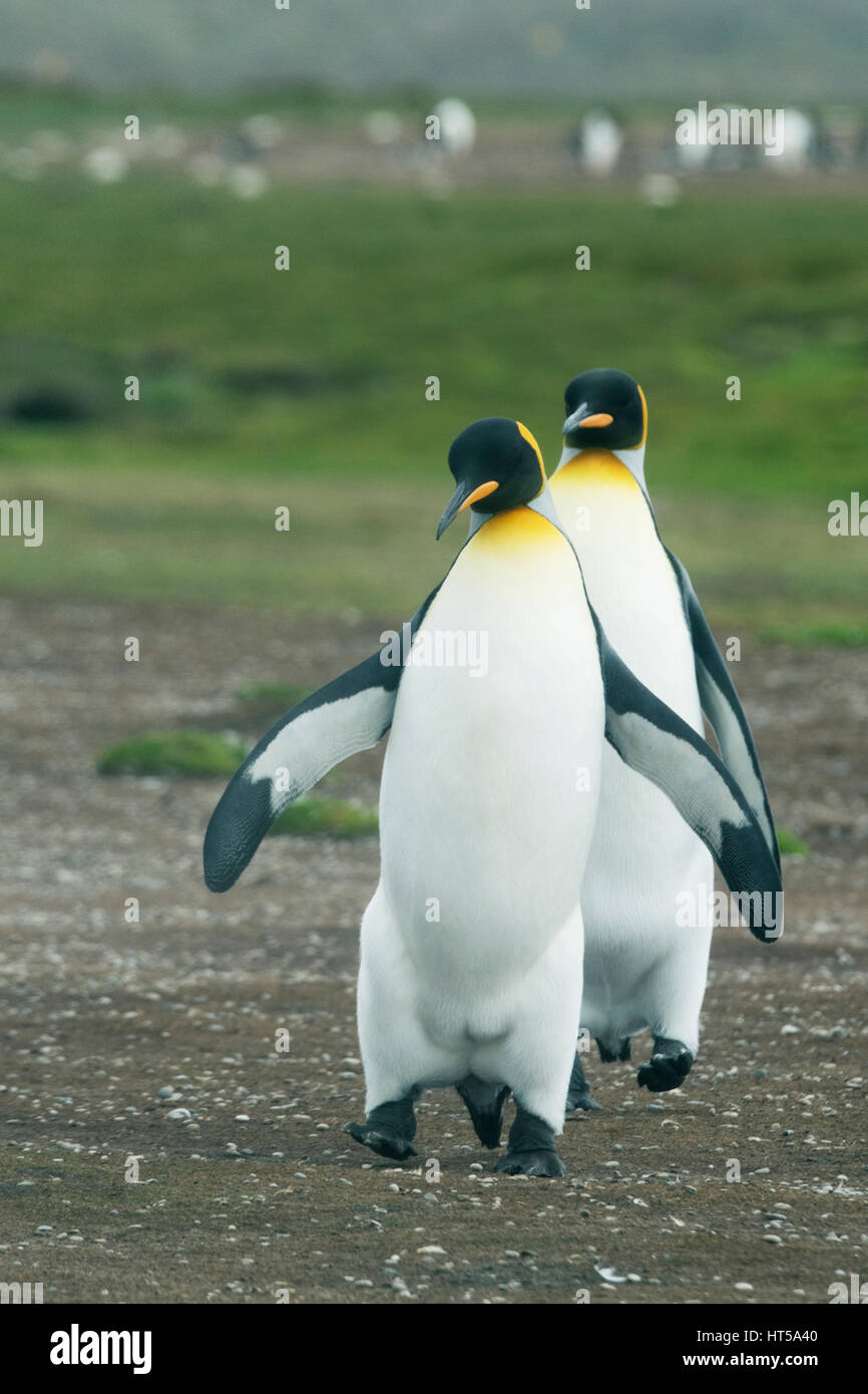 King Penguin, (Aptenodytes patagonicus) Volunteer Point, Falkland Islands - Stock Image