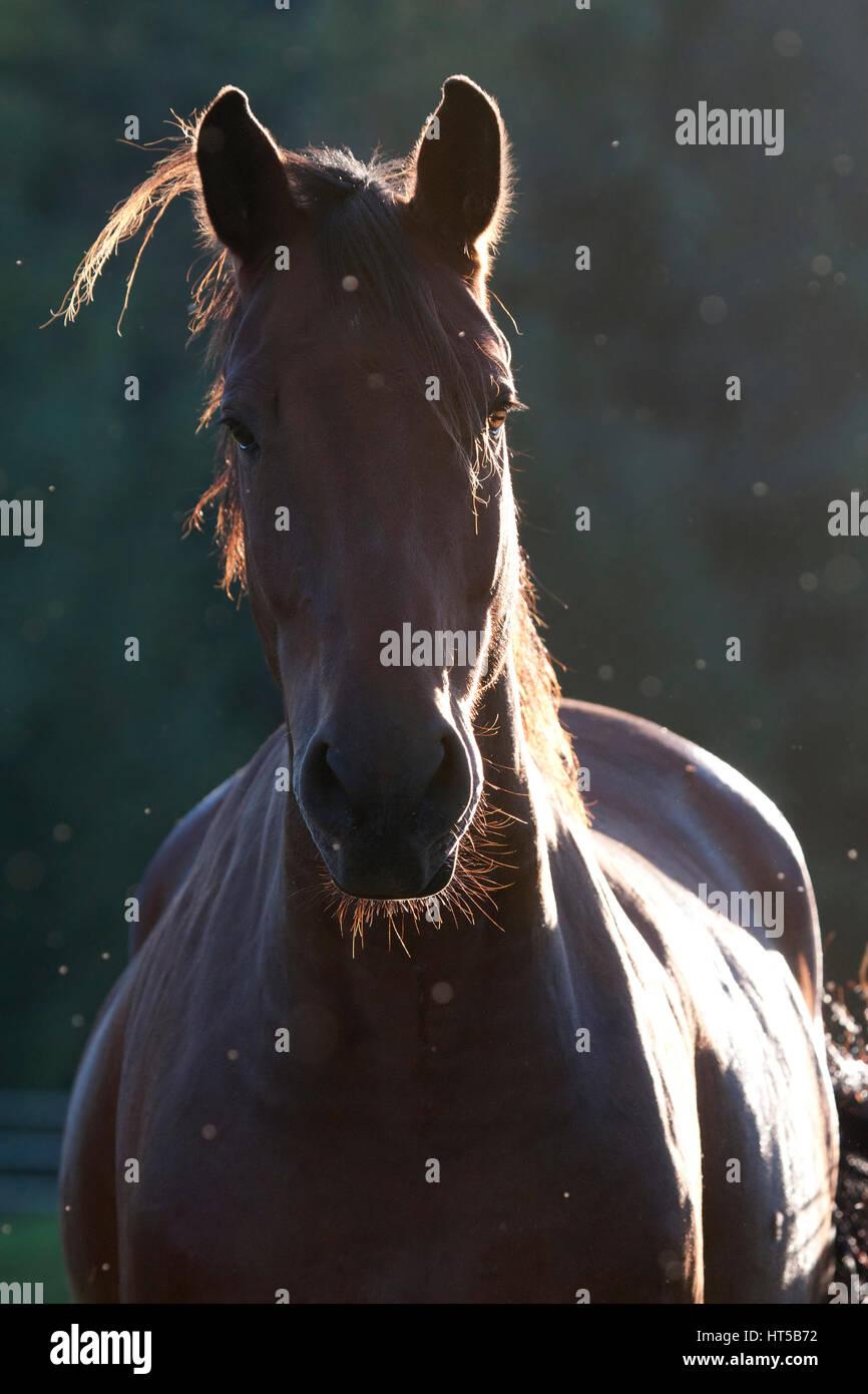 Bay horse backlit - Stock Image