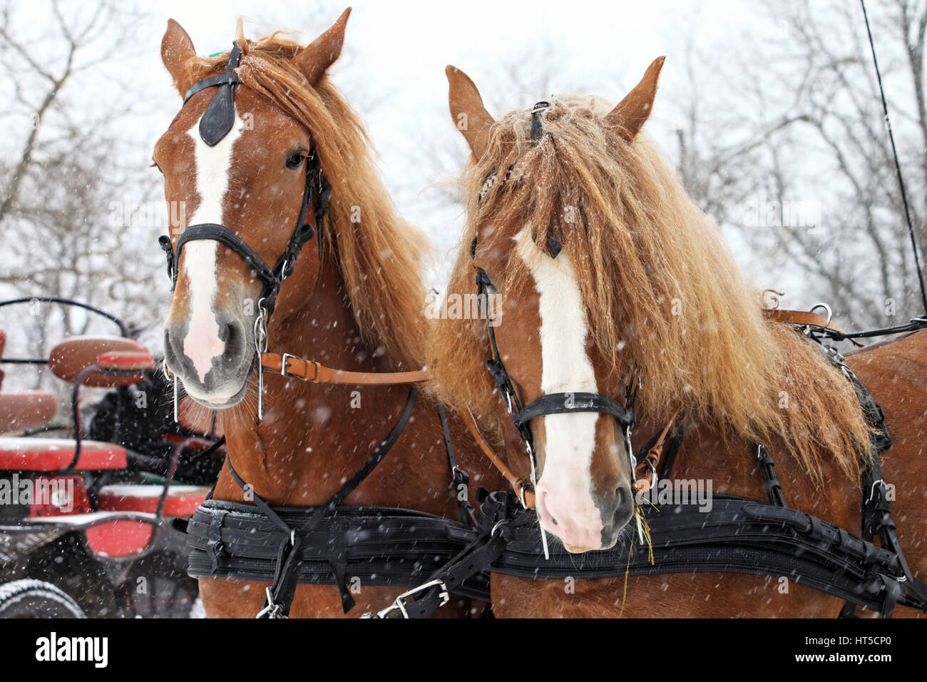 Clydesdale Horse Team High Resolution Stock Photography And Images Alamy