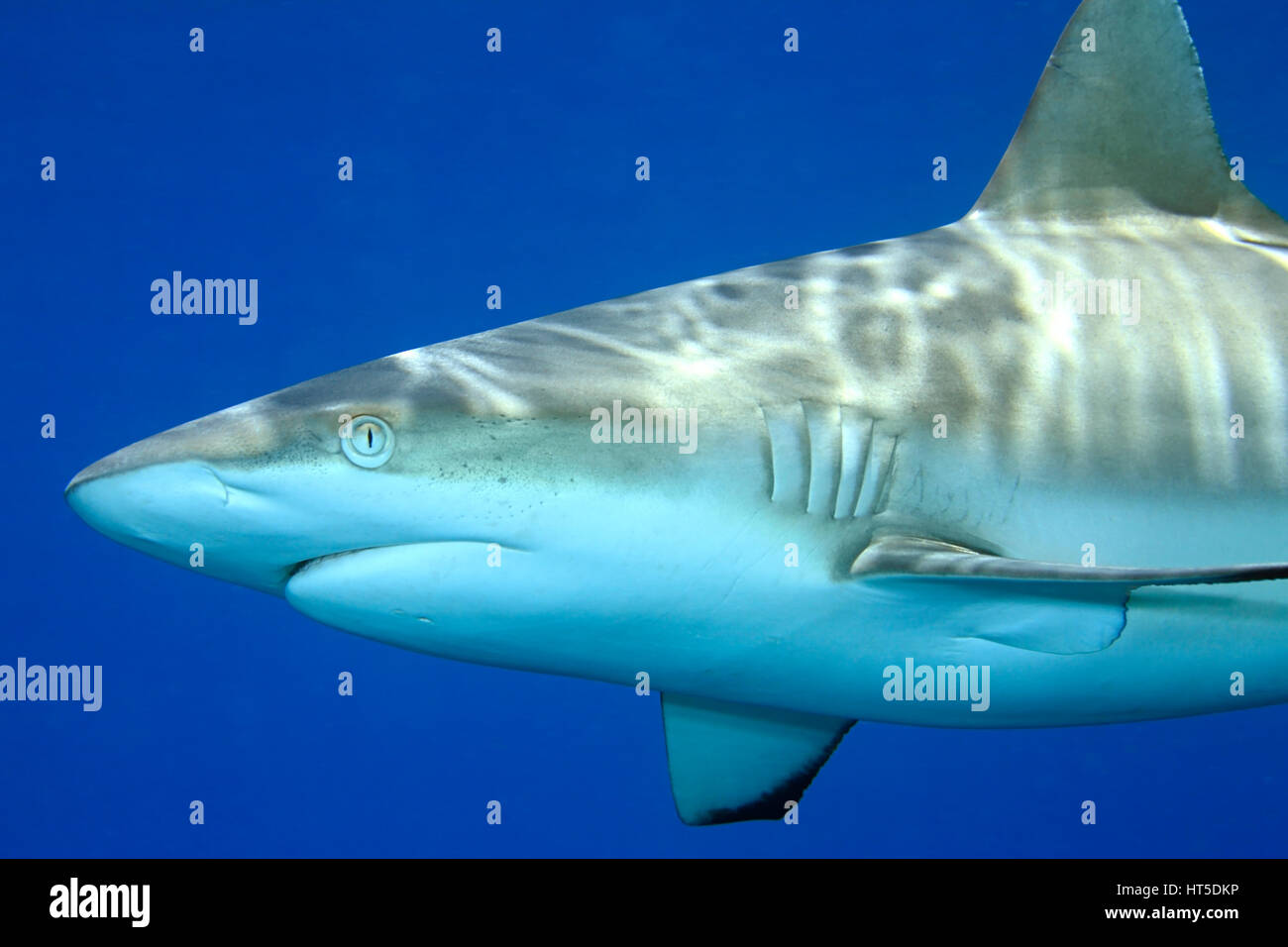 Grey Reef Shark, Carcharhinus amblyrhynchos. Close up detail of face, mouth and gills. Blue water background - Stock Image