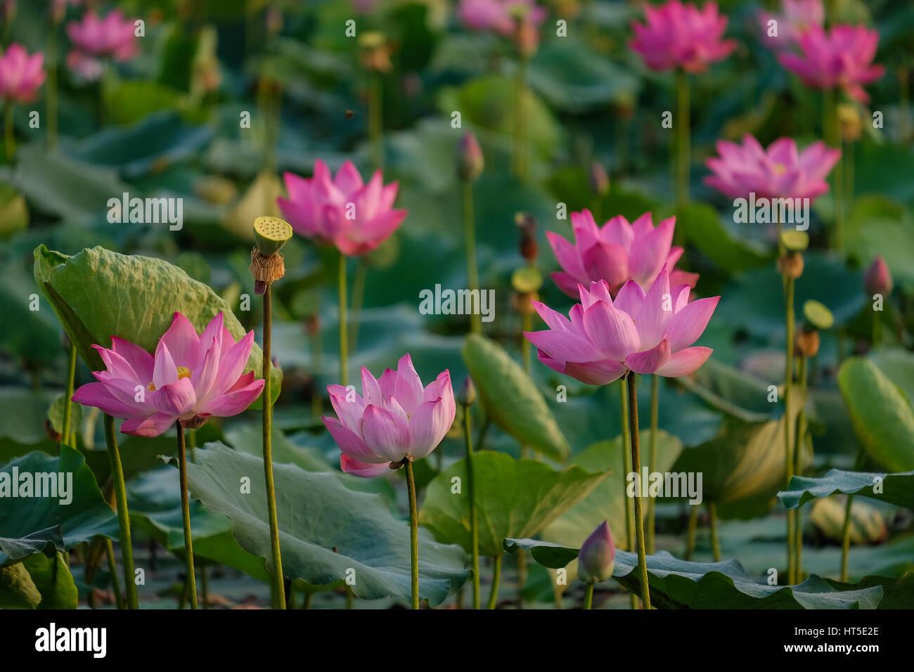 Lotus Flower With Pink, Red, Yellow Colour In The Pond In A Morning Day