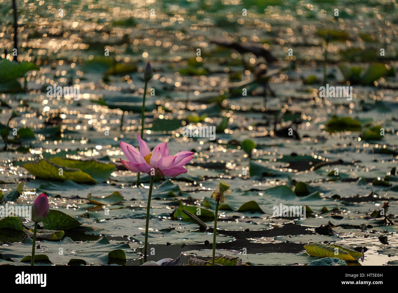 Lotus flower with pink red yellow colour in the pond in a morning lotus flower with pink red yellow colour in the pond in a morning day with sunlight and wind in a sububan aera viet nam izmirmasajfo