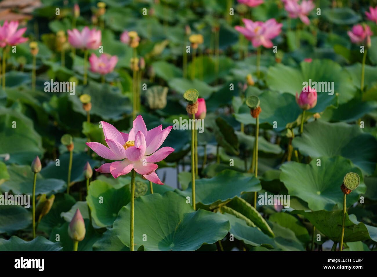 Lotus Flower With Pink Red Yellow Colour In The Pond In A Morning