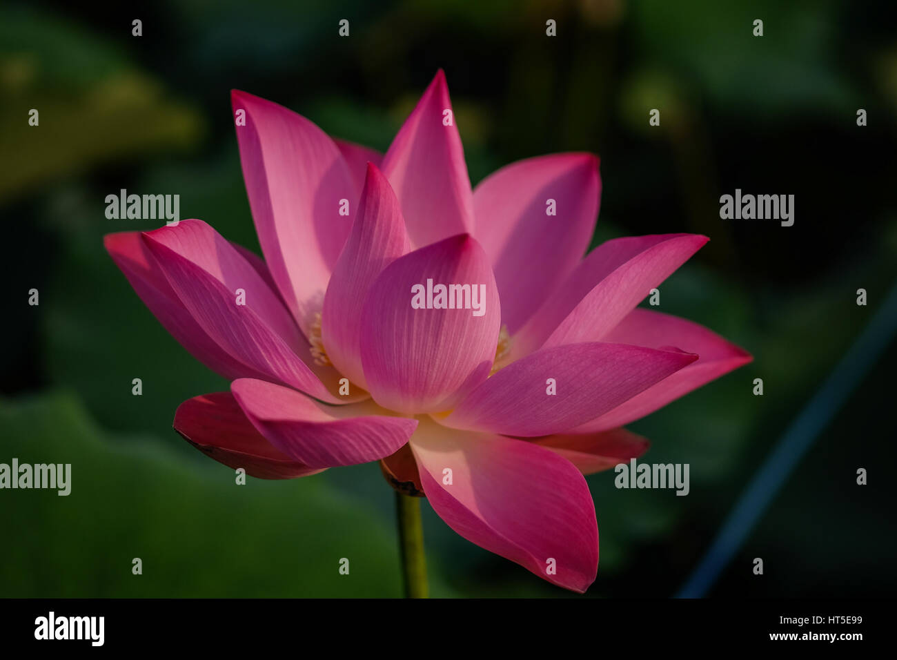 Wind by virtue of stock photos wind by virtue of stock images alamy lotus flower with pink red yellow colour in the pond in a morning day mightylinksfo