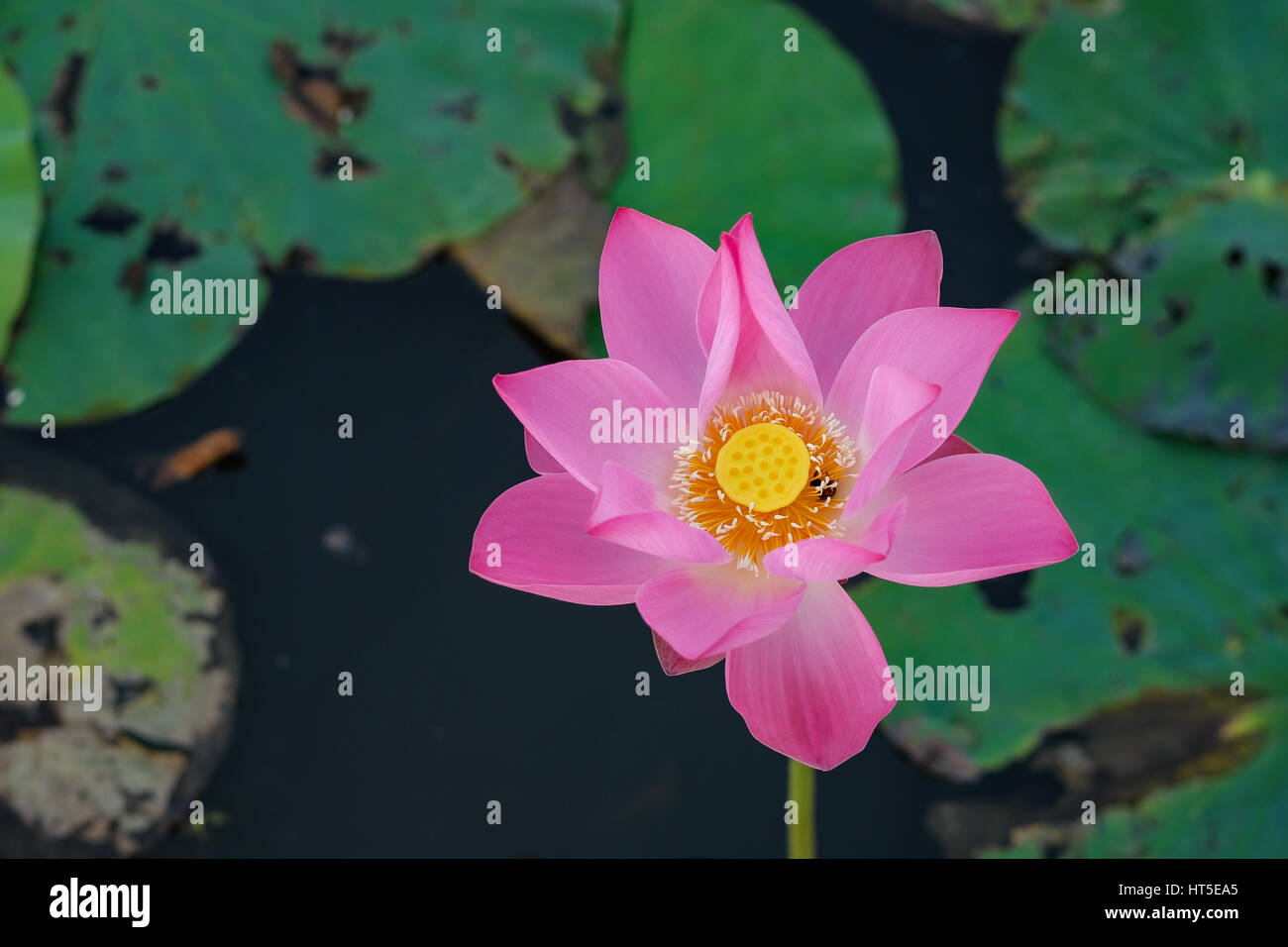 Beautiful Flowers Background Beauty Blossom Pink Lotus Flower A