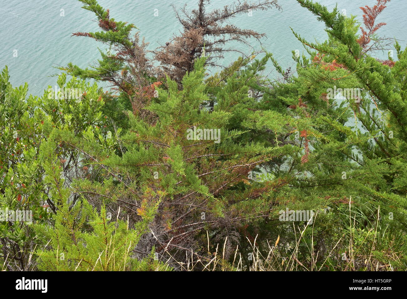 Dense conifer tree branches hiding calm water surface. Stock Photo