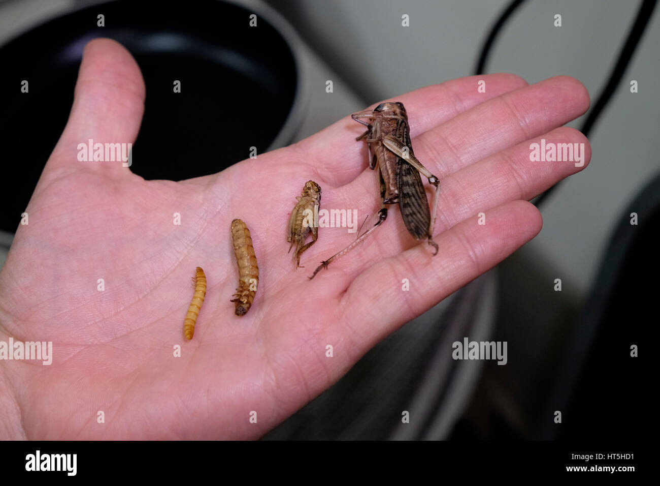 Man holds a cricket, a migratory locusts ( Locusta migratoria) and edible mealworm pupas, prepared to be cooked - Stock Image