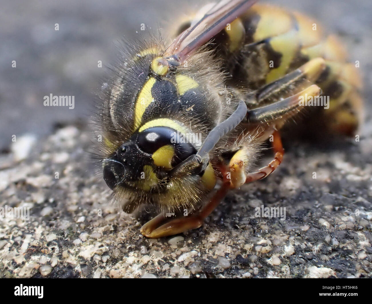 Macro shot three-quarter view of dead European wasp (Vespula vulgaris) lying on a limestone paving slab - Stock Image