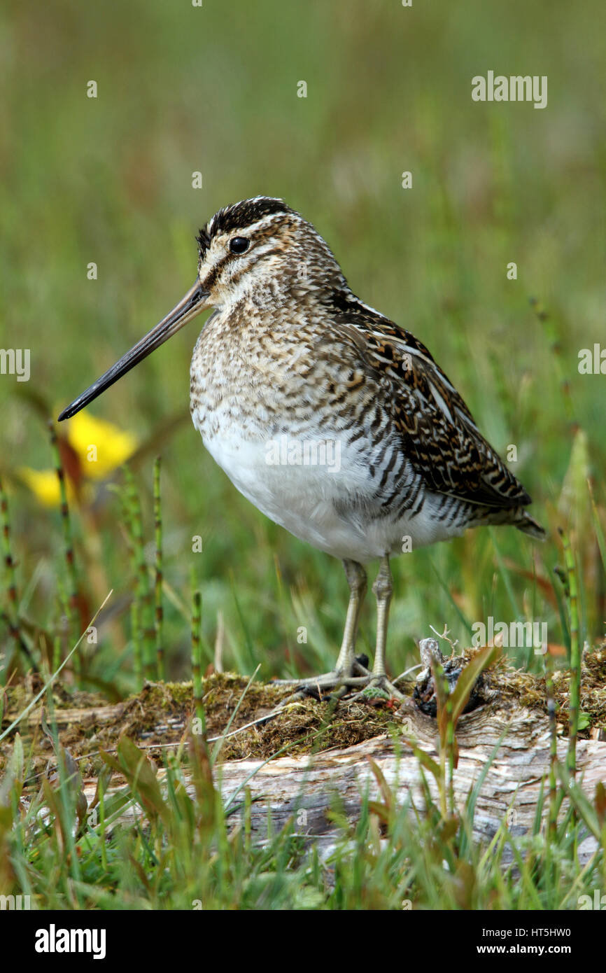 Common Snipe Gallinago gallinago, in amongst the flowers and grasses of a croft meadow, North Uist, Outer Hebrides, - Stock Image