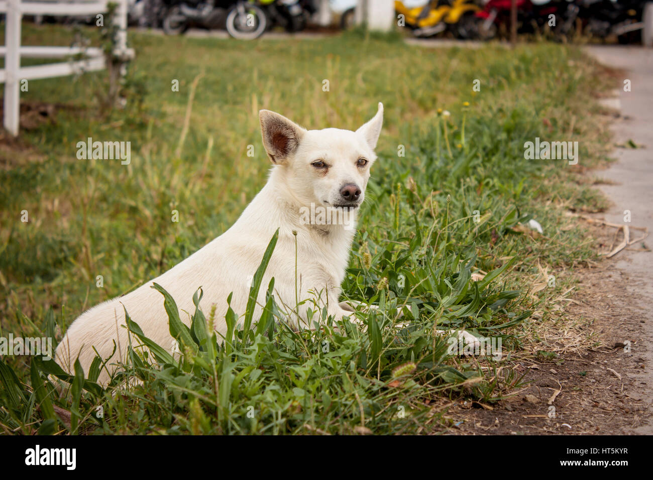 Small dog intent to play intrigued between the fresh grass of the farm - Stock Image